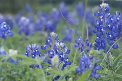 Bluebonnets 1184. Many bluebonnets in a field in an impressionistic style Royalty Free Stock Images