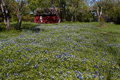 Bluebonnets Stock Image