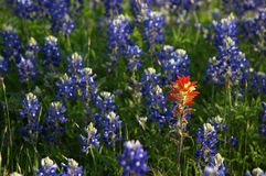 Bluebonnets Royalty Free Stock Images