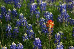 Bluebonnets Royalty Free Stock Photos