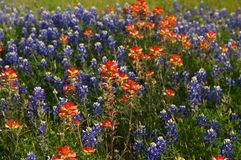 Bluebonnets Stock Photos