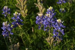 Bluebonnets Royalty Free Stock Photo