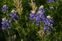 bluebonnets Стоковое фото RF