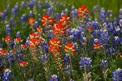 bluebonnets Obraz Royalty Free