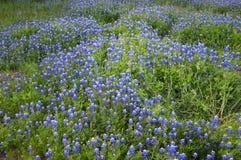 bluebonnets arkivfoton