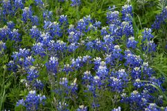 bluebonnets Obrazy Royalty Free