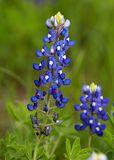 Bluebonnets Foto de Stock Royalty Free