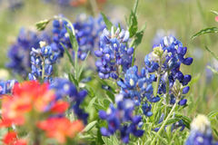 Bluebonnets Fotos de Stock