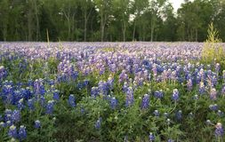 Bluebonnets 6899 Royalty Free Stock Photography