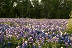 Bluebonnets 6903 Royalty Free Stock Photography