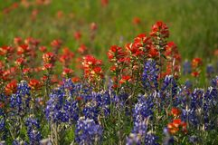 Bluebonnets. Texas bluebonnets Stock Photography