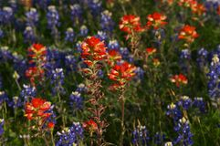 Bluebonnets. Texas bluebonnets Royalty Free Stock Photos