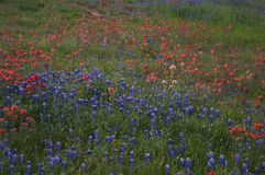 Bluebonnets. Texas bluebonnets Stock Image