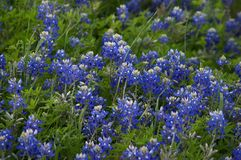 Bluebonnets. Texas bluebonnets Stock Photos