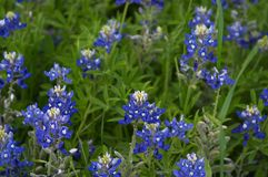 Bluebonnets. Texas bluebonnets Stock Photo
