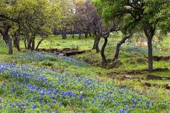 Bluebonnets auf Rocky Hills Texas Hill Countrys stockfotos