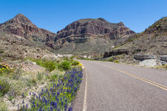 Bluebonnets at Big Bend, Texas. Bluebonnets grow on the side of the road on the Ross Maxwell Scenic Drive in Big Bend National Park, Texas Stock Image