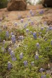 Bluebonnets In Bloom Royalty Free Stock Images
