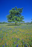 Bluebonnets in bloom with tree on hill, Spring Willow City Loop Road, TX Royalty Free Stock Photo