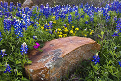Bluebonnets & Boulder. Large Granite boulder surrounded by Texas Bluebonnets Royalty Free Stock Images