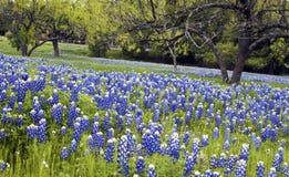 Bluebonnets dans le pays de côte du Texas Photo stock