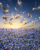 Bluebonnets dans le pays de côte du Texas Photo libre de droits