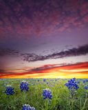 Bluebonnets dans le pays de côte du Texas image stock
