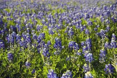 Bluebonnets dans le Texas Photos libres de droits