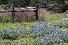 Bluebonnets de Texas Fotografia de Stock