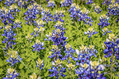 Bluebonnets di Oakalla Fotografia Stock