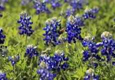 Bluebonnets di Texas Fotografie Stock