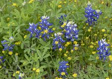 Bluebonnets and DYC`s along the Bluebonnet Trail in Ennis, Texas. Pictured are bluebonnets and DYC`s along the Bluebonnet Trail in Ennis, Texas.  The term DYC is royalty free stock images
