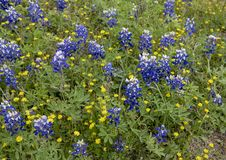Bluebonnets and DYC`s along the Bluebonnet Trail in Ennis, Texas. Pictured are bluebonnets and DYC`s along the Bluebonnet Trail in Ennis, Texas.  The term DYC is royalty free stock photography
