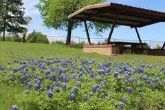 Bluebonnets e picnic Immagini Stock