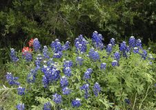 Bluebonnets e pinc?is indianos ao longo da fuga do Bluebonnet em Ennis, Texas imagem de stock