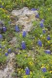 Bluebonnets e Wildflowers Imagem de Stock Royalty Free