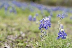 Bluebonnets em Texas imagens de stock royalty free