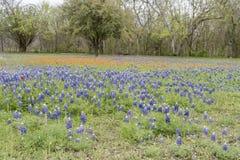 Bluebonnets em Texas imagens de stock