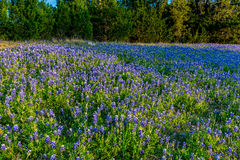 Bluebonnets em Texas Hillside fotografia de stock royalty free