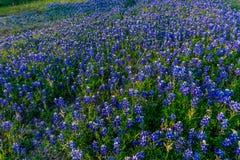 Bluebonnets em Texas Hillside fotos de stock royalty free