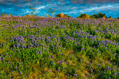 Bluebonnets em Texas Hillside imagens de stock royalty free