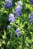 Bluebonnets en campo bajo sol Fotografía de archivo libre de regalías