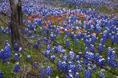Bluebonnets en Indische Paintbush in Texas Hill Country, Texas stock foto