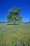 Bluebonnets en la floración con el árbol en la colina, primavera Willow City Loop Road, TX foto de archivo libre de regalías