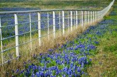 Bluebonnets en witte omheining Stock Fotografie
