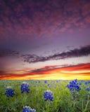 Bluebonnets in het Land van de Heuvel van Texas stock afbeelding