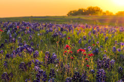 Bluebonnets and Indian Paintbrushes near Ennis, TX Royalty Free Stock Photos