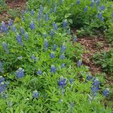 Bluebonnets. At Klyde Warren Park Royalty Free Stock Photos