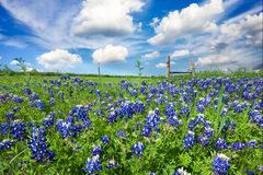 Bluebonnets in Late Afternoon Sun Royalty Free Stock Photos