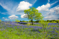 Bluebonnets in Late Afternoon Sun Royalty Free Stock Image